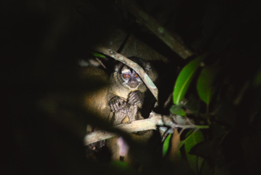 Gray-bellied-night-monkey