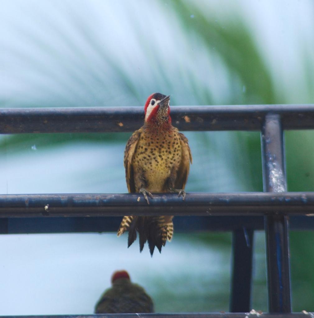 La imagen tiene un atributo ALT vacío; su nombre de archivo es spot-breasted-woodpecker.jpg